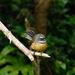 NZ Fantail by maureenpp