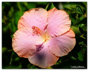 10th Mar 2018 - In The Pink... Hibiscus...