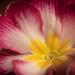 Primula by haskar