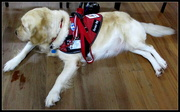 11th Mar 2018 - Blind guide dog in training