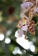 6th Mar 2018 - Orchid and Bokeh