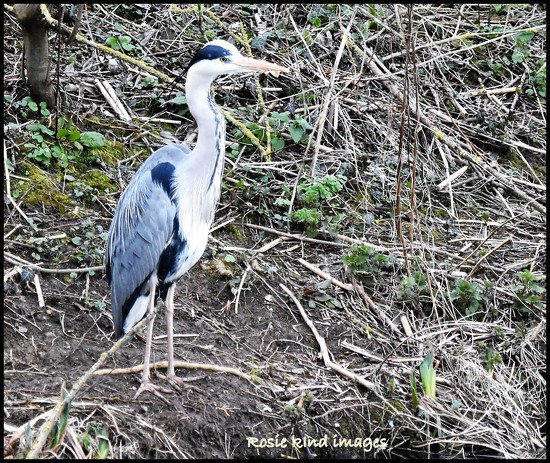 Mr Heron by rosiekind
