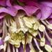 Lenten Rose detail