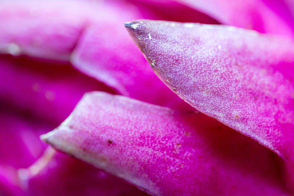 Pink - Dragon Fruit by nicolecampbell