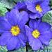 Blue Primula.