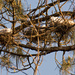 The Egrets are Resting on the Nest!