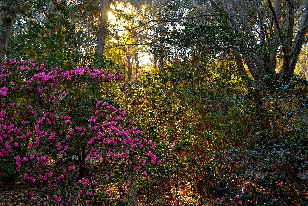 Afternoon light, Magnolia Gardens, Charleston, SC by congaree