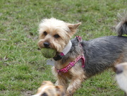 11th Mar 2018 - A Yorkshire Terrier With A Ball