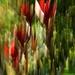 Back lit leucadendron