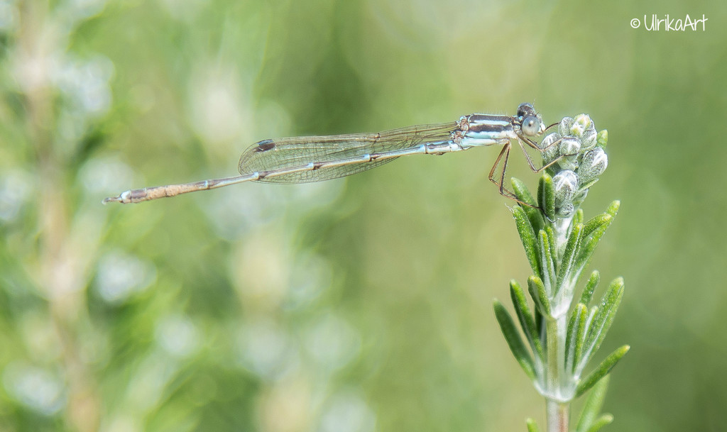 dragonfly... which is actually a damselfly! by ulla