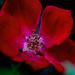 single petal red