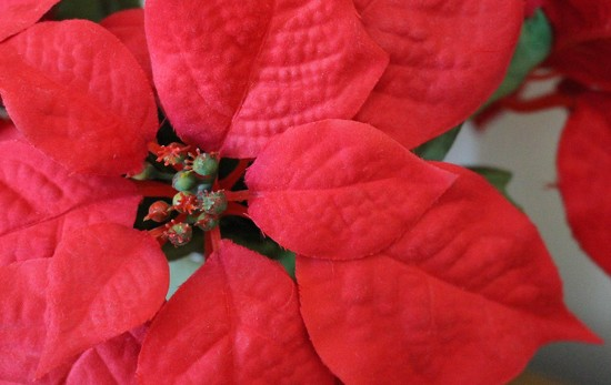 Poinsettia leaves by mittens
