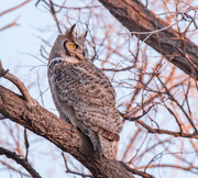 10th Mar 2018 - Great Horned Owl