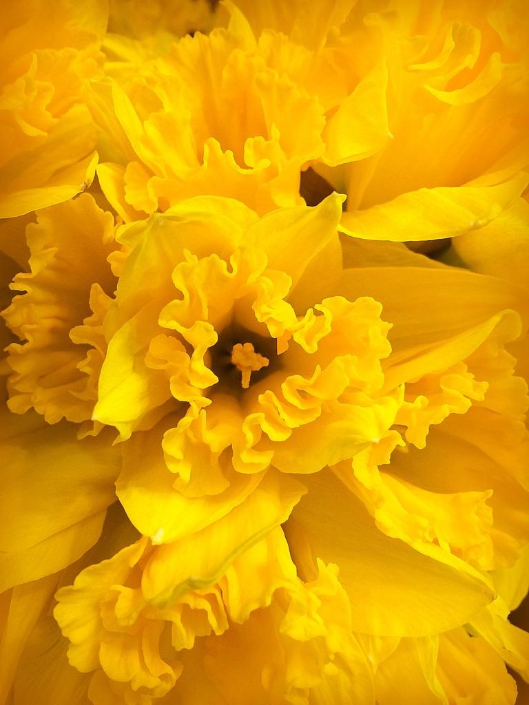 YELLOW Daffodils by homeschoolmom