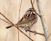 12th Mar 2018 - Song Sparrow Profile