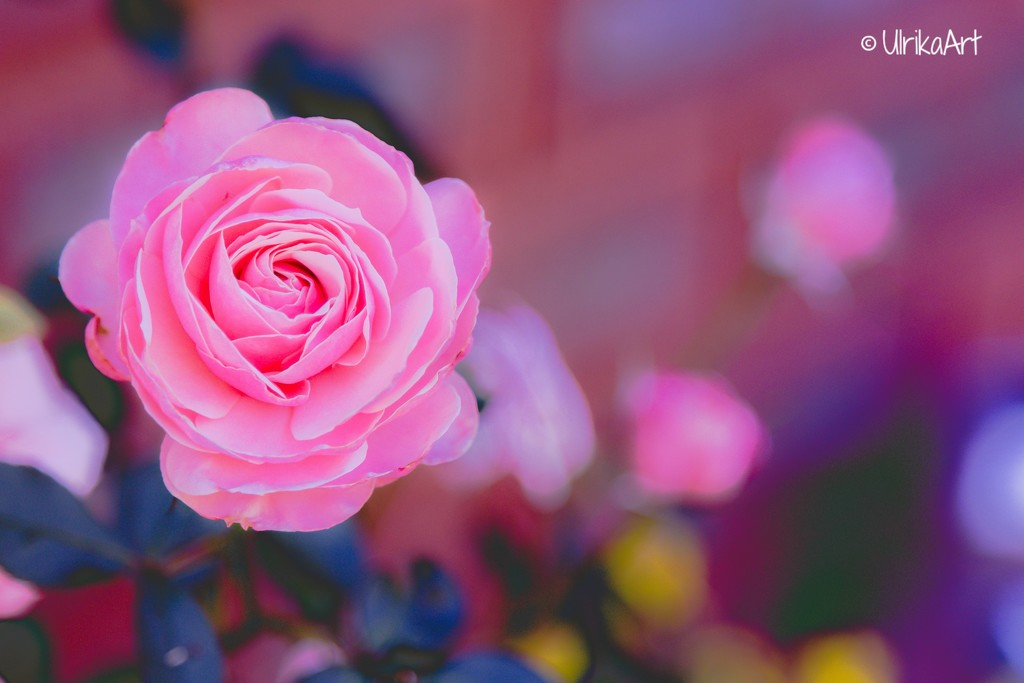 Painterly rose by ulla