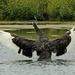 Black swan flapping