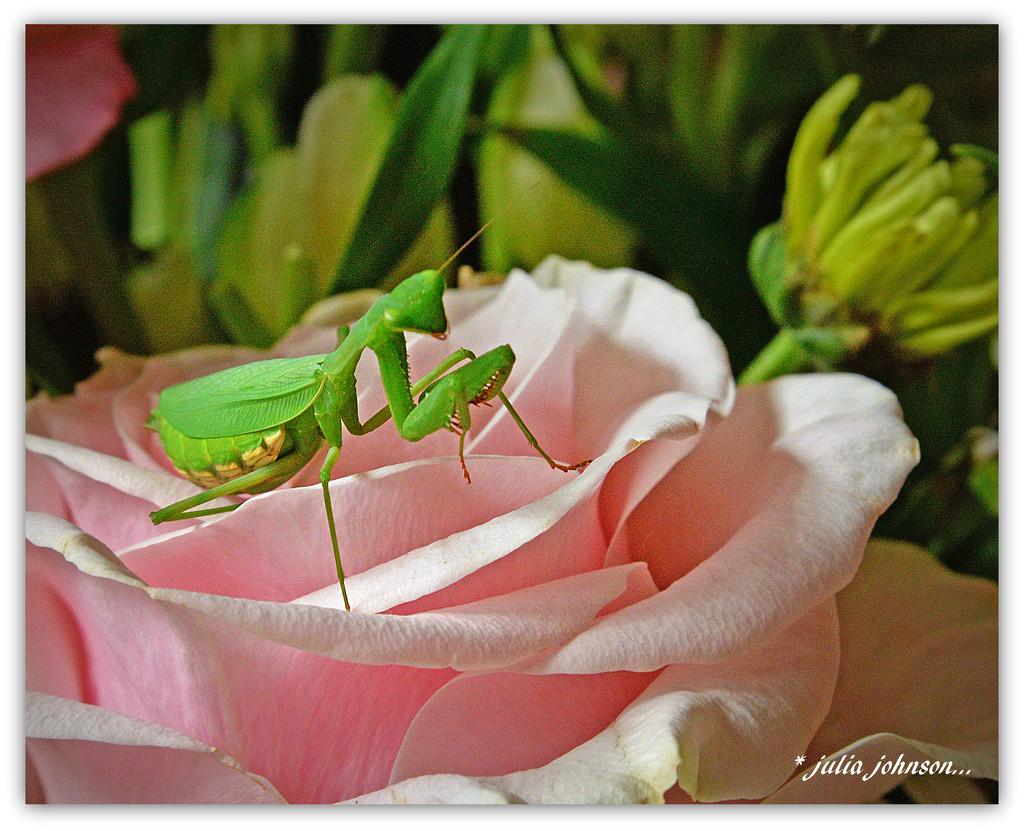 Interloper on the Pink Rose... by julzmaioro