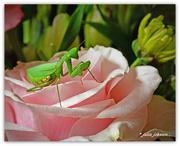 13th Mar 2018 - Interloper on the Pink Rose...