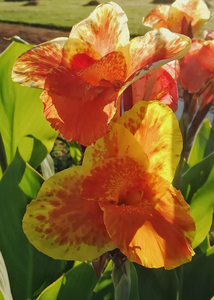 Orange Canna by salza