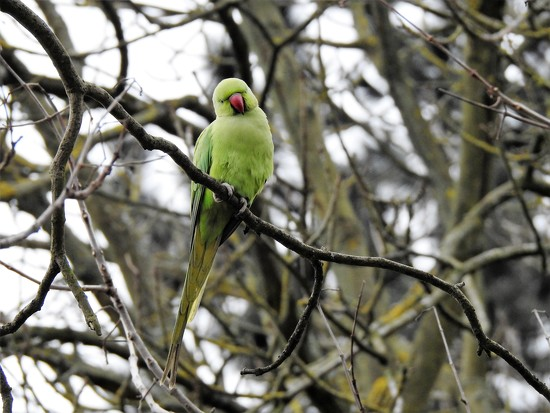 Ring Necked Parakeet by susiemc