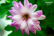 13th Mar 2018 - Chrysanthemum