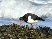 13th Mar 2018 - Oyster Catcher