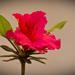 Azalea's are Still Blooming!
