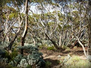 14th Mar 2018 - Great Western Woodlands on the Eyre Highway
