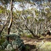 Great Western Woodlands on the Eyre Highway