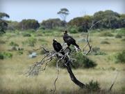 13th Mar 2018 -  Wedgetail Eagles