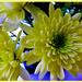 Chrysanthemums  by beryl