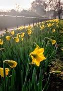 13th Mar 2018 - Green Park daffodils
