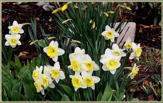 Daffodils by bruni