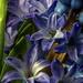 Macro Hyacinth