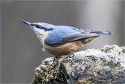 14th Mar 2018 - Nuthatch