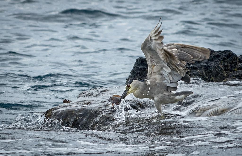 Night Heron Catching Dinner  by jgpittenger