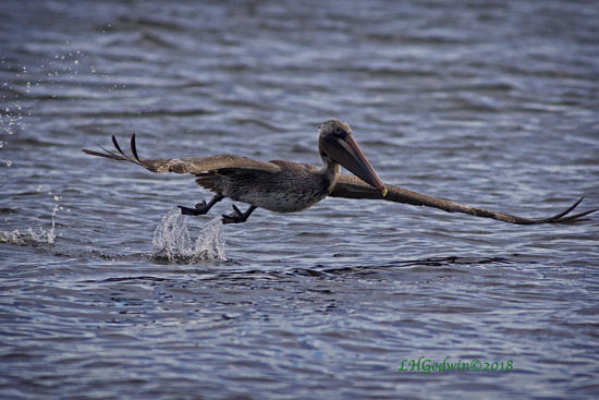 LHG_9368-Pelican-in-flight by rontu