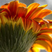 Backlit Gerber Daisy by ksmale