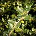 Mundane leaf