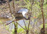 14th Mar 2018 - Blue Heron seen on my walk at lunch