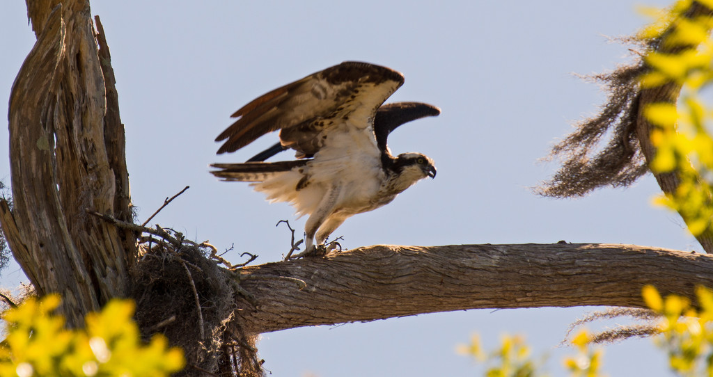 Osprey About to Take Off! by rickster549