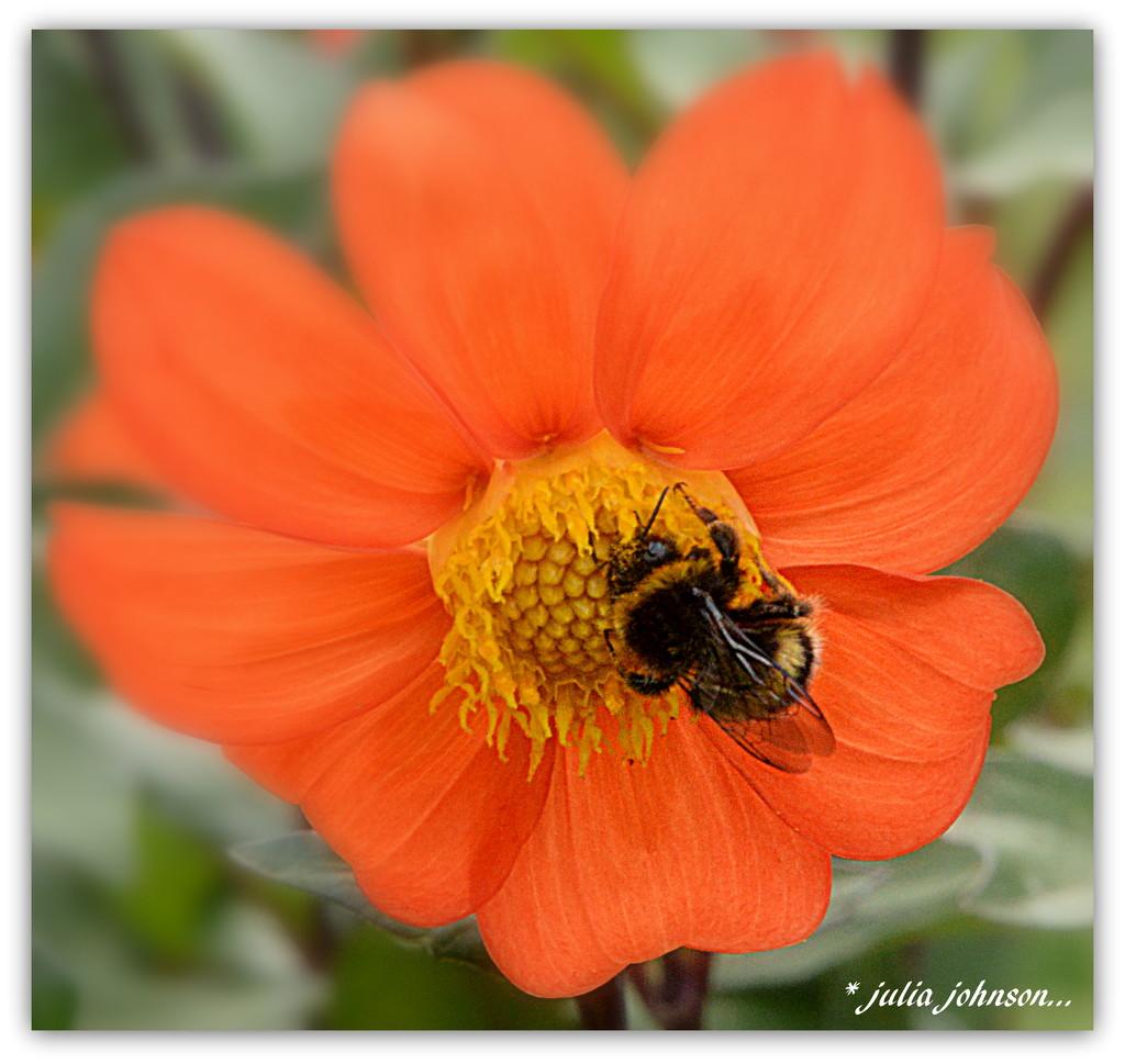 Bumble bee on the Dahlia... by julzmaioro