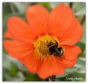 15th Mar 2018 - Bumble bee on the Dahlia...