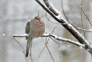 15th Mar 2018 - Snowy Shoulders Mourning Dove