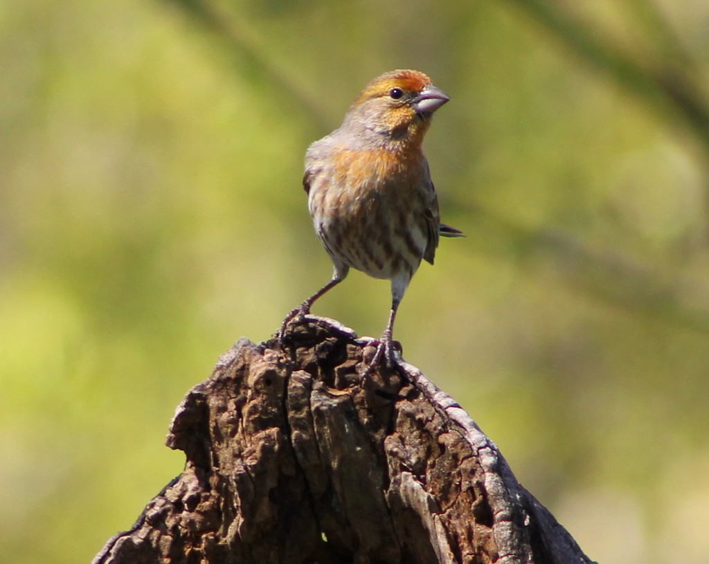 Young House Finch by cjwhite