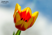 15th Mar 2018 - Red and yellow tulip