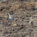 Killdeer by a golf ball landscape