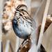 Song Sparrow Sings Closeup