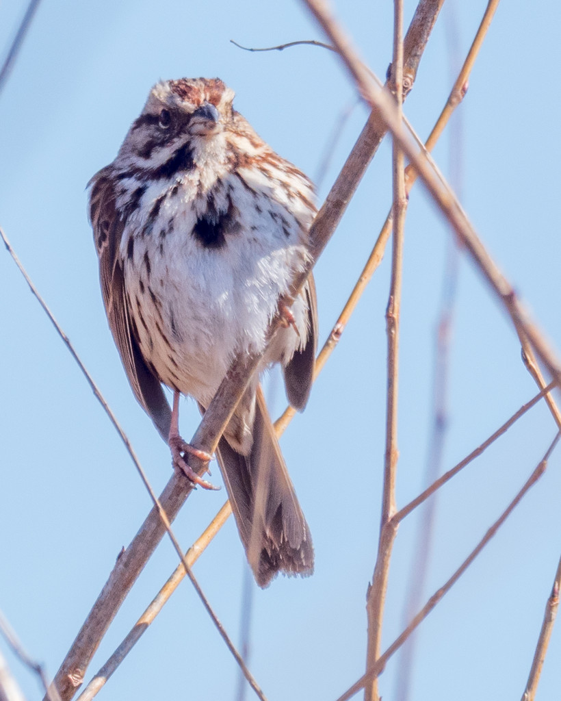 Proud Song Sparrow by rminer